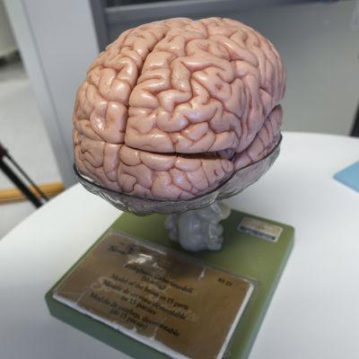 Aivojen pienoismalli pöydällä.