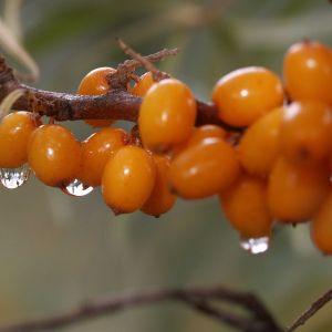 En kvist med orangea havtornsbär.