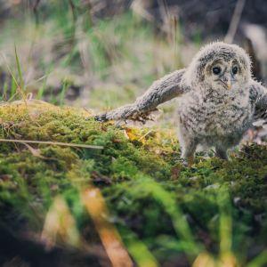Pöllön poikanen vauhdissa
