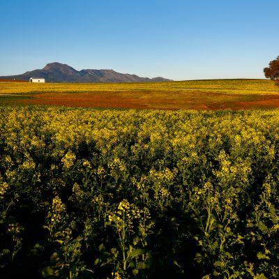 Rypsiviljelmiä Etelä-Afrikassa