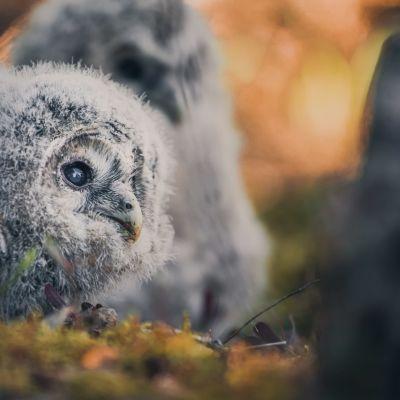 Pöllön poikanen odottaa rengastusvuoroa