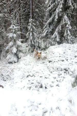 Koira hyppii lumisessa metsässä