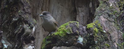 En lavskrika sitter på en gren i Ruokolax.
