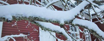 Snötyngd äppelträdgren utanför Strömsövillan