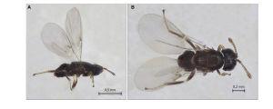 Ixodiphagus hookeri on pienikokoinen loispistiäinen