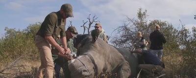 Nedsövd noshhörning i Sydafrika