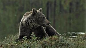 Karhu mättäällä, takana vettä.