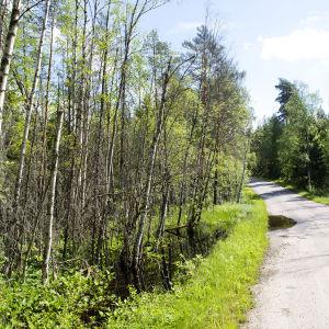 Majava-allas on levinnyt metsätielle.