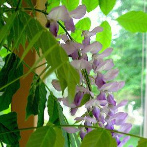 Kukkiva kukkaterttu ikkunalla