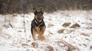 Anton koira valmiina pyrähtämään juoksuun talvisella niityllä.
