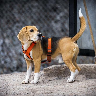 En glad hund i orange sele i en hundpark