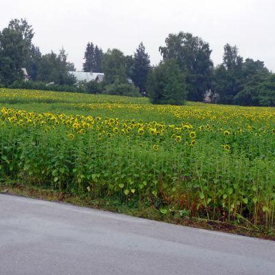 Auringonkukat kukkivat maisemapellolla.