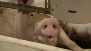Ett gristryne som sticker fram mellan järnrör i en grisningsbur. Ett trött öga ser in i kameran.