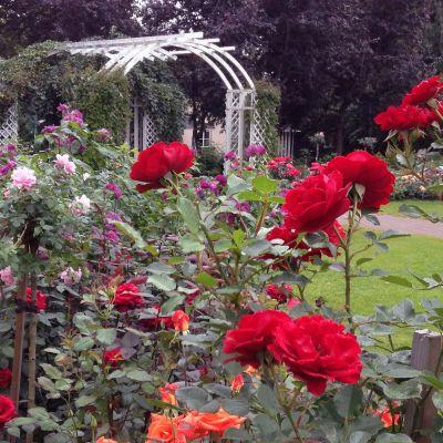 Ruusuja Hatanpään Arboretumissa Tampereella