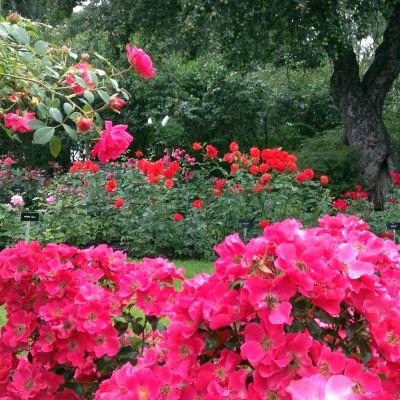 Kukkiva ruusutarha Hatanpään Arboretumissa Tampereella
