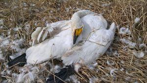 En av svanarna som dött i april i Karleby.