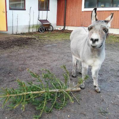 Aasit Asni ja Peppiina herkuttelevat mielellään joulukuusilla.