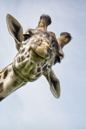 Luonnon jättilläiset kuten kirahvi ovat aina kiehtoneet ihmisen mielikuvitusta.
