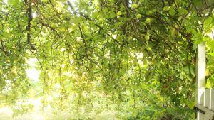 Äppelträdsgrenar.