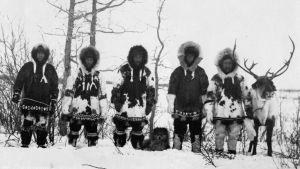Inuitit oppivat poronhoidon, mutta suosio ei ollut toivottu