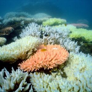 Korallblekning vid ön North Keppel på Stora barriärrevet i Australien