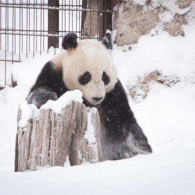 Pyry, eli Hua Bao. Ähtärin panda