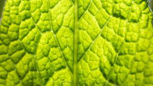 Närbild av ett grönt blad.