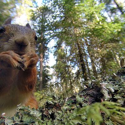 Oravametsän orava kurkkii.