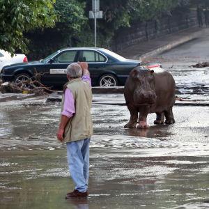 En flodhäst på gatan i Tbilisi, Georgien efter översvämningar som dödat minst åtta personer.