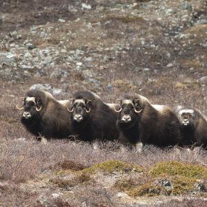 Myskihärkälauma Grönlannissa.