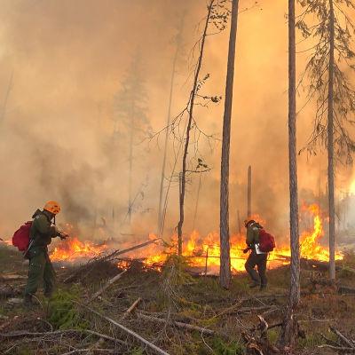 Kolme palomiestä taltuttaa metsäpaloa Siperiassa.