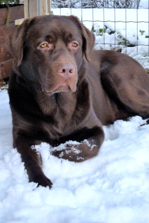 Labradorinnoutaja Paavo makuulla lumessa tarhassa.