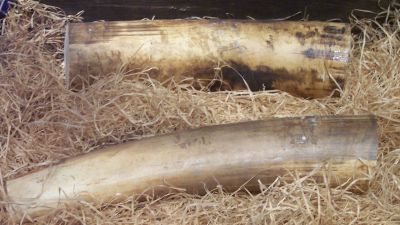 Fyra ton elfenben beslagtogs i togo
