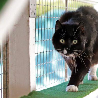 Kissa kävelee hyllyllä ulkoilutarhassa.