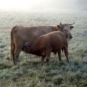 Lehmä imettää laitumella vasikkaa.