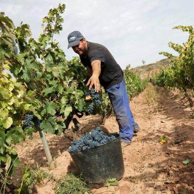 Viljelijä korjaa käsin tummia rypäleitä viljelyksillä Cenicerossa, La Riojassa.
