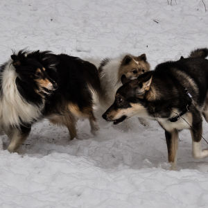 Lekande hundar