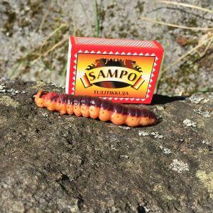 Matias Gädda undrar vad det skall bli av denna jättestora larv som kom krypande på holmen i Larsmo. Den är mörk lila, nästan svart på ryggen och orange på sidorna. Den är 12-15 mm tjock och ca 10 cm lång.