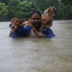 En nepalesisk man vadar igenom vatten med boskap på ryggen.