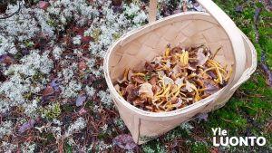 Sienikori sammalmättäällä.