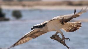 fågel (fiskgjuse) har fisk i klorna