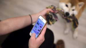 Koira oppii nopeasti, että kännykkää tuijottava hoitaja ei keskity, sanovat asiantuntijat.