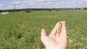 Hand med ärtskida vid en åker där årter odlas.