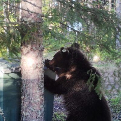 Karhu tonkii roskista Hujakkalan alueella Lappeenrannassa.