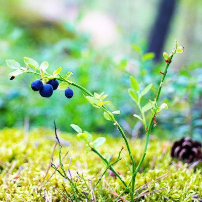 Blåbärsris med fyra blåbär växer bland mossa.