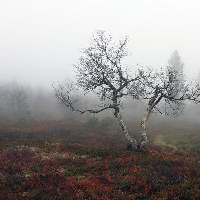 Maaruskaa Kaunispään rinteillä Ivalossa.