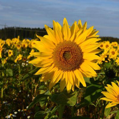 Auringonkukkia kasvaa pellon täydeltä.