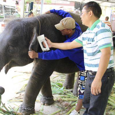 Konfiskerad elefant i Thailand