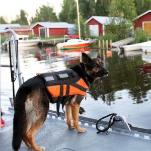En hund med flytväst står på en brygga.
