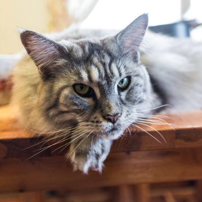 Kissa Pirkanmaan eläinsuojeluyhdistyksen tiloissa.